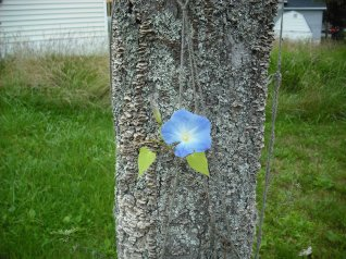 Morning Glory from seed, Beaver Bank Homework Club, 2015